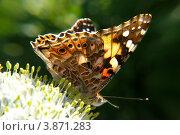 Бабочка Репейница, или чертополоховка (Vanessa cardui) Стоковое фото, фотограф Алина Сысоева / Фотобанк Лори