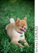 Довольный щенок сиба-ину лежит на зеленой траве. Стоковое фото, фотограф Елена Круглова / Фотобанк Лори