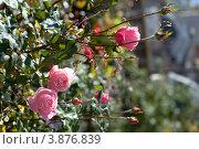 Розовый куст на размытом фоне. Стоковое фото, фотограф Елена Круглова / Фотобанк Лори