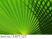 Листья пальмы. Стоковое фото, фотограф Шишова Анна Сергеевна / Фотобанк Лори