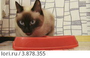Купить «Сиамские кошки», видеоролик № 3878355, снято 26 сентября 2012 г. (c) Коваль Василий / Фотобанк Лори