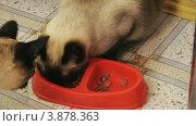 Купить «Сиамские кошки», видеоролик № 3878363, снято 26 сентября 2012 г. (c) Коваль Василий / Фотобанк Лори