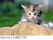 Трехцветный котенок лежит на камне. Стоковое фото, фотограф Мария Кобылина / Фотобанк Лори