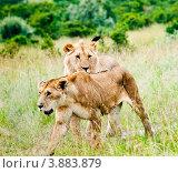 Купить «Львы. Кения», фото № 3883879, снято 9 июня 2012 г. (c) Екатерина Овсянникова / Фотобанк Лори