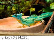 Купить «Шлемоносный василиск (Basiliscus)», фото № 3884283, снято 25 августа 2012 г. (c) Катерина Макарова / Фотобанк Лори