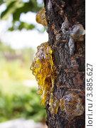 Купить «Капли смолы на стволе дерева», фото № 3885627, снято 8 августа 2012 г. (c) Светлана Чернокнижникова / Фотобанк Лори