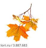 Купить «Кленовая ветка с листьями и плодами на белом фоне», фото № 3887683, снято 2 октября 2011 г. (c) Елена Вяселева / Фотобанк Лори
