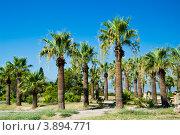 Пальмы в Турции. Стоковое фото, фотограф Евгений Егоров / Фотобанк Лори