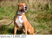 Купить «Портрет собаки породы американский стаффордширский терьер на фоне зеленного луга», фото № 3895207, снято 28 сентября 2012 г. (c) Николай Винокуров / Фотобанк Лори