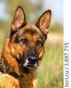 Купить «Портрет крупным планом собаки породы немецкая овчарка на фоне парка», фото № 3897715, снято 28 сентября 2012 г. (c) Николай Винокуров / Фотобанк Лори