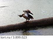 Утка взлетает. Стоковое фото, фотограф Татьяна Саламахина / Фотобанк Лори