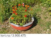 Купить «Декоративный вазон с бархатцами (Tagetes)», эксклюзивное фото № 3900475, снято 1 июля 2012 г. (c) lana1501 / Фотобанк Лори