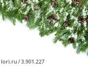 Ветви ели с шишками в снегу на белом фоне. Стоковое фото, фотограф Сергей Фигурный / Фотобанк Лори