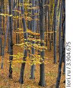 Буковый осенний лес. Стоковое фото, фотограф Владимир Фалин / Фотобанк Лори