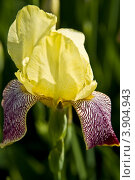 Купить «Ирис жёлтый с фиолетовым», фото № 3904943, снято 28 мая 2011 г. (c) ИВА Афонская / Фотобанк Лори