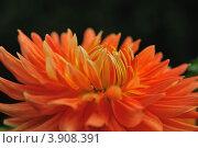 Оранжевый георгин. Стоковое фото, фотограф Татьяна Кахилл / Фотобанк Лори
