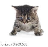 Купить «Полосатый котенок на белом фоне», фото № 3909535, снято 2 октября 2012 г. (c) Максим Пименов / Фотобанк Лори