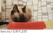 Купить «Сиамская кошка ест корм из миски», видеоролик № 3911215, снято 26 сентября 2012 г. (c) Коваль Василий / Фотобанк Лори