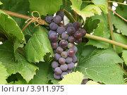 Виноградная гроздь. Стоковое фото, фотограф Сергей Шолохов / Фотобанк Лори