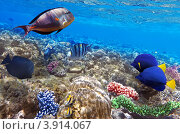 Купить «Кораллы и рыбы в Красном море. Египет», фото № 3914067, снято 3 сентября 2012 г. (c) Vitas / Фотобанк Лори