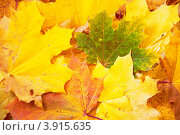 Разноцветные кленовые листья россыпью. Стоковое фото, фотограф Елена Шуршилина / Фотобанк Лори