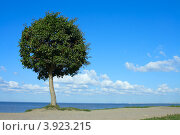 Купить «Петергоф, Нижний парк, подстриженное дерево на берегу Финского залива», фото № 3923215, снято 15 августа 2012 г. (c) Ольга Остроухова / Фотобанк Лори