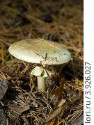 Купить «Грибы Мещеры: бледная поганка Amanita phalloides», фото № 3926027, снято 28 сентября 2012 г. (c) Инна Грязнова / Фотобанк Лори