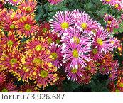 Игольчатые хризантемы. Стоковое фото, фотограф Елена Верховых / Фотобанк Лори