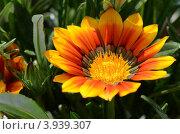Цветок Гацании крупным планом. Стоковое фото, фотограф Александра / Фотобанк Лори