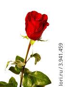 Свежая алая роза на белом фоне. Стоковое фото, фотограф Антон Жигаев / Фотобанк Лори