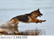 Купить «Собака породы немецкая овчарка бежит по воде», фото № 3944059, снято 15 сентября 2012 г. (c) Калимулина Ольга / Фотобанк Лори