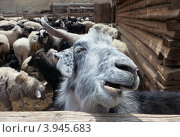 Купить «Стадо коз и овец в загоне», фото № 3945683, снято 22 мая 2012 г. (c) hunta / Фотобанк Лори