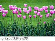 Ярко-розовые тюльпаны. Стоковое фото, фотограф Людмила Маркина / Фотобанк Лори