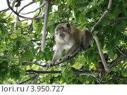 Купить «Обезьяна сидит на дереве в джунглях», фото № 3950727, снято 13 августа 2011 г. (c) Жукова Юлия / Фотобанк Лори