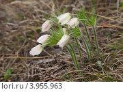 Купить «Подснежники сон-трава», фото № 3955963, снято 1 мая 2012 г. (c) Виталий Горелов / Фотобанк Лори