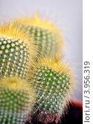 Купить «Нотокактус (Пародия) Ленигхауза (Notocactus leninghausii)», фото № 3956319, снято 23 октября 2012 г. (c) Анна Мартынова / Фотобанк Лори