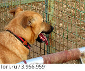 Купить «Бездомная собака на выгуле в приюте для бездомных животных», фото № 3956959, снято 7 сентября 2012 г. (c) Елена Мусатова / Фотобанк Лори