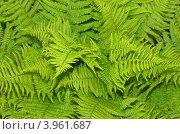 Купить «Растительный фон из листьев папоротника», эксклюзивное фото № 3961687, снято 1 июня 2012 г. (c) Елена Коромыслова / Фотобанк Лори