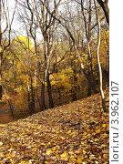 Кленовый лес поздней осенью. Стоковое фото, фотограф Igor5 / Фотобанк Лори