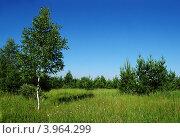 Березка и молодой сосновый лес (2012 год). Стоковое фото, фотограф Igor5 / Фотобанк Лори