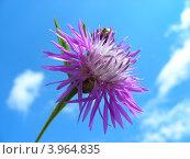 Купить «Василек луговой (Centaurea jacea) на фоне голубого неба», эксклюзивное фото № 3964835, снято 16 июля 2012 г. (c) lana1501 / Фотобанк Лори