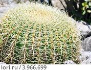 Купить «Большой кактус», фото № 3966699, снято 15 июня 2012 г. (c) Юрий Брыкайло / Фотобанк Лори