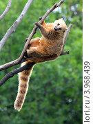 Купить «Носуха коати на ветке дерева», фото № 3968439, снято 5 августа 2012 г. (c) Михаил Коханчиков / Фотобанк Лори