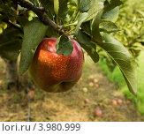 Купить «Красное яблоко сорта Эмпайер (Empire) на ветке», фото № 3980999, снято 1 сентября 2012 г. (c) Ирина Кожемякина / Фотобанк Лори