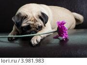 Декоративная собачка и красный цветок. Стоковое фото, фотограф Масюк Светлана / Фотобанк Лори