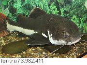 Сом в аквариуме. Стоковое фото, фотограф Фатима Арсамакова / Фотобанк Лори
