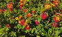 Цветущий куст лантаны, фон (лат. Lantana camara L.), фото № 3982627, снято 23 сентября 2012 г. (c) Виктория Катьянова / Фотобанк Лори