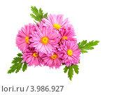 Розовые хризантемы на белом фоне. Стоковое фото, фотограф Трофимова Мария / Фотобанк Лори