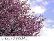 Японская вишня в цвету. Стоковое фото, фотограф Людмила Герасимова / Фотобанк Лори