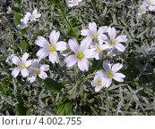 Купить «Ясколка войлочная (Cerastium tomentosum)», эксклюзивное фото № 4002755, снято 5 июня 2012 г. (c) lana1501 / Фотобанк Лори